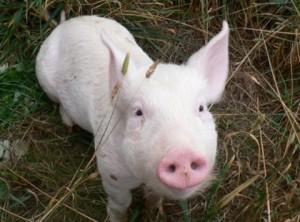 daisy piglet