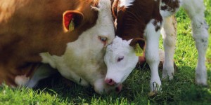 cow-and-her-calf-snuggle