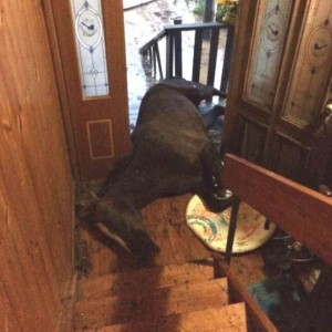 horse in flooded doorway