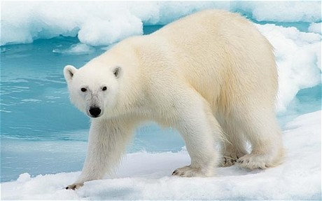 Polar-Bear-4