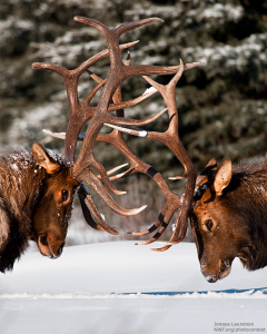 bull elks fighting